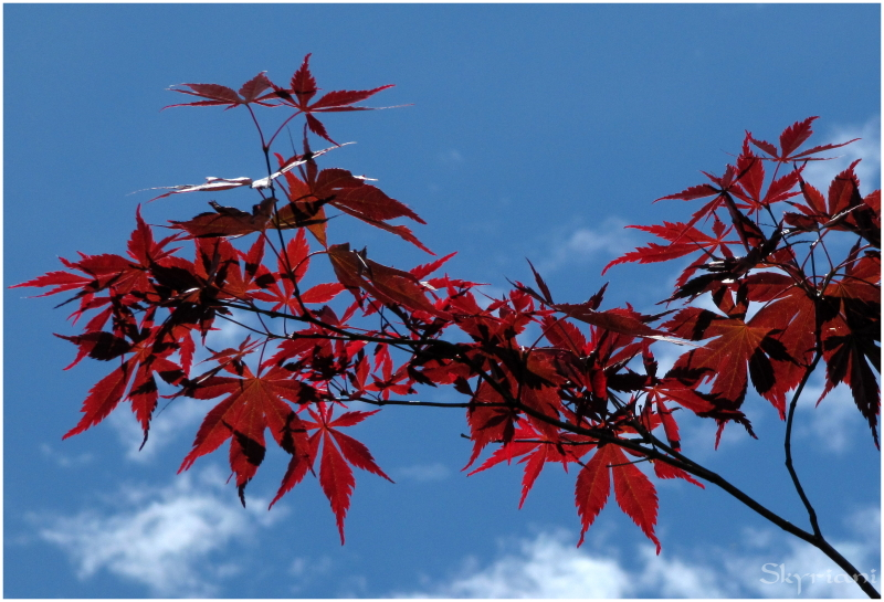 Red maple, white clouds, blue sky