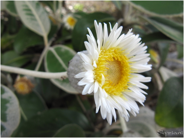 Marlborough Rock Daisy II