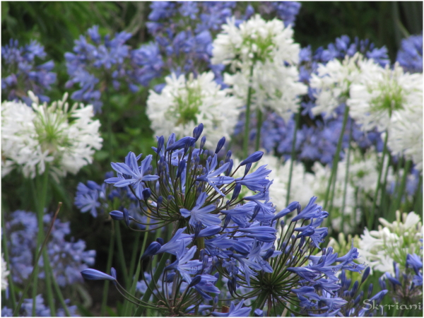 Agapanthus, the African Lilly