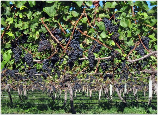 Grape Harvest in Nelson,  New Zealand
