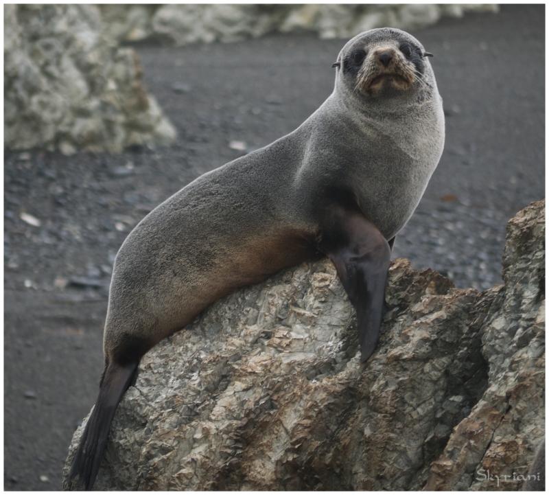 Pup (NZ fur seals III)
