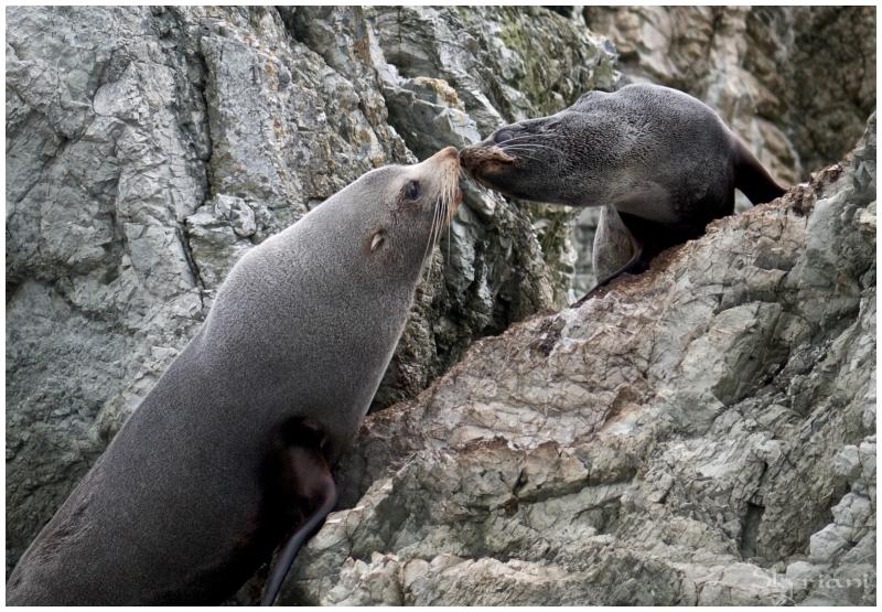 Mama and pup (NZ fur seals IV)