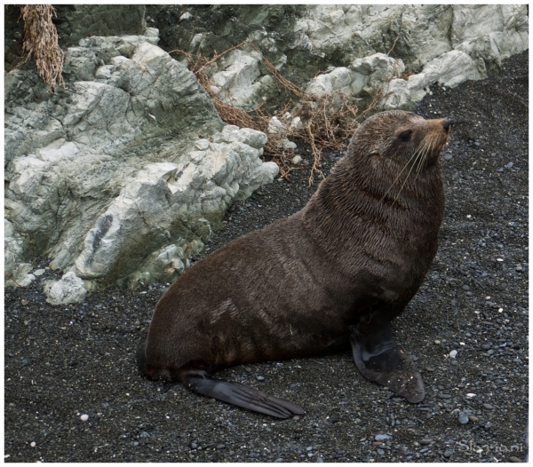 Male (NZ fur seals V)