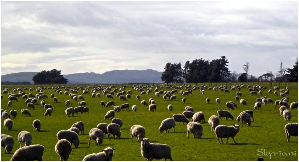 Porangahau sheep