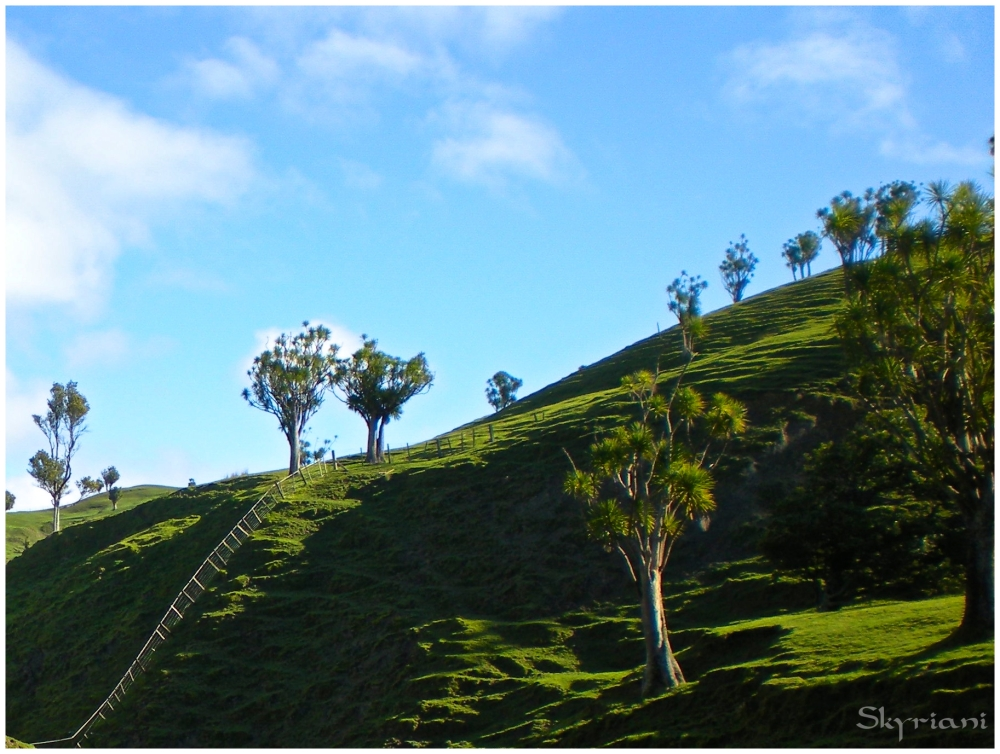 Porangahau paddock with cabbage trees I