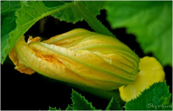 Scallopini squash flower