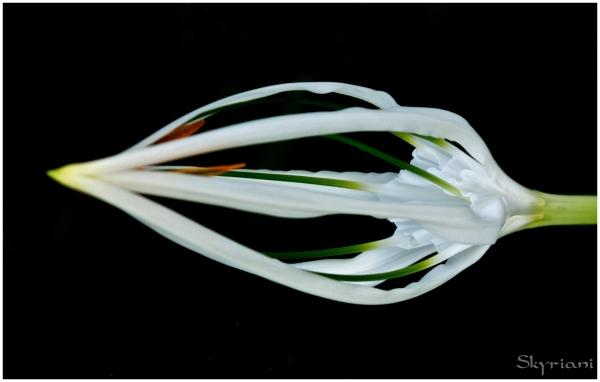 Unopened Spider Lily I