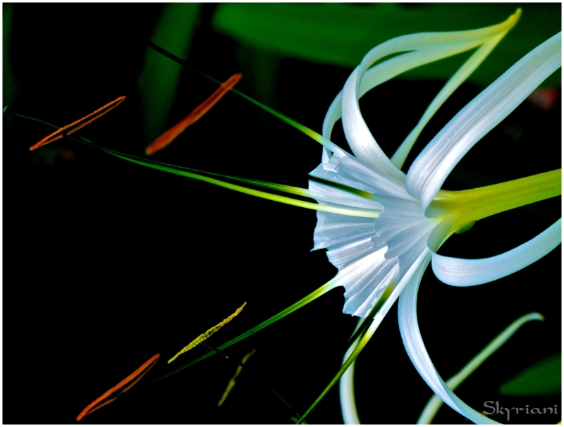 Spider lily III