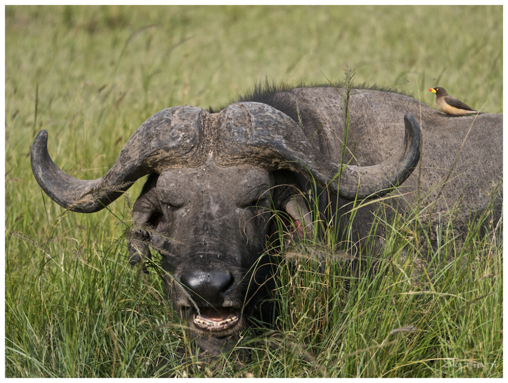 Cape Buffalo and Oxpecker