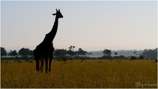 Masai Giraffe Sillhouette