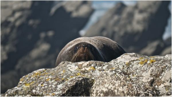 Fur seal II