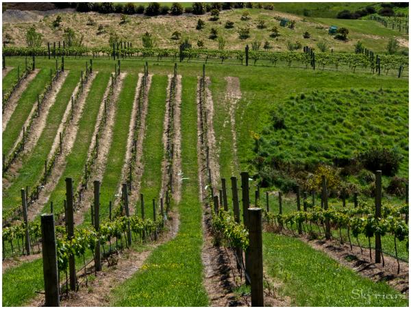 Vineyards I