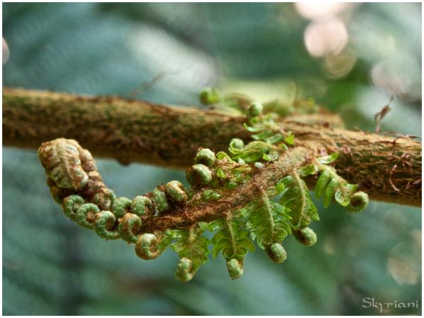 Tree fern leaflet