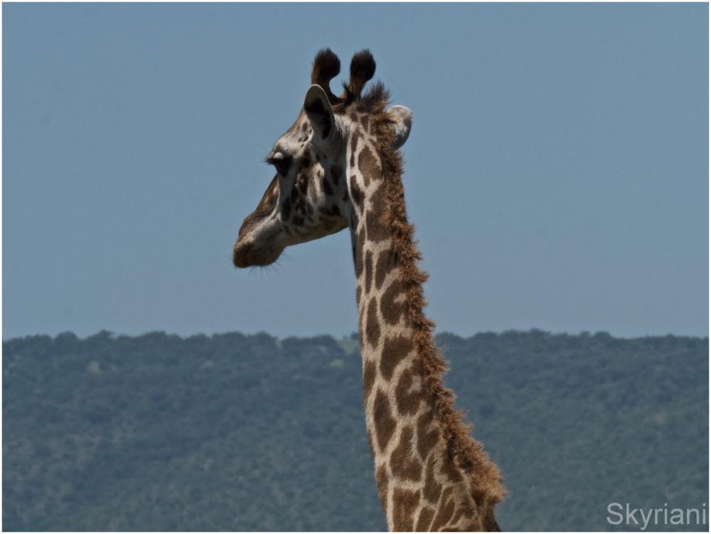 Portrait of a Giraffe II