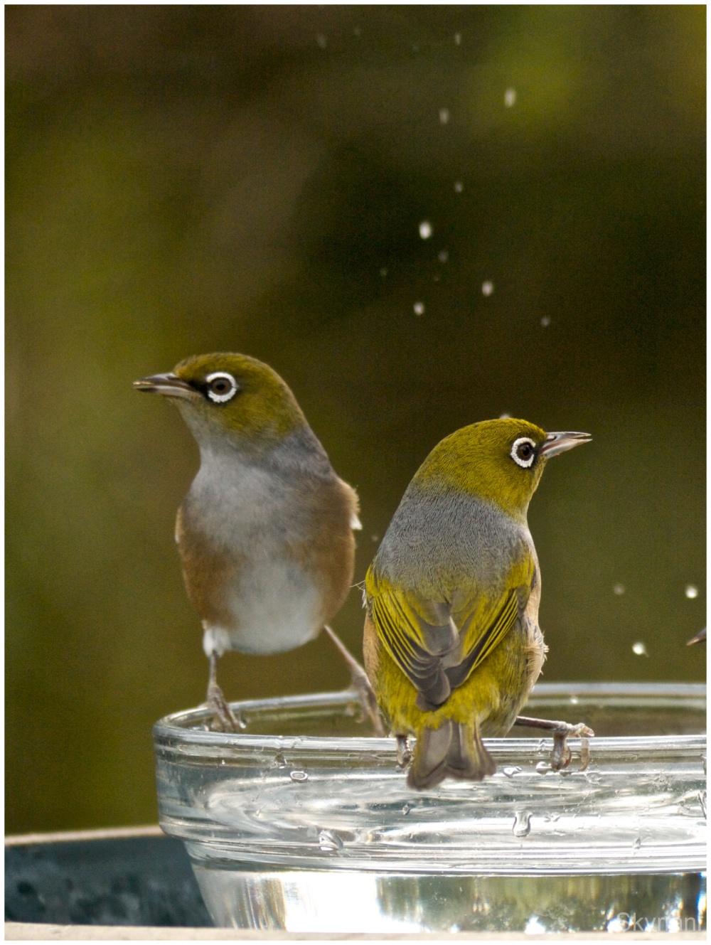 Silvereyes at the nectar feeder
