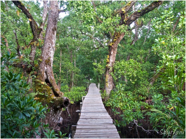 Path through Mangroves