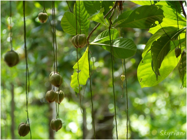 Barringtonia fruit