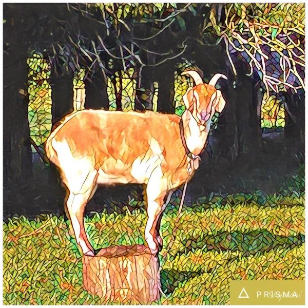 Mr Goat II