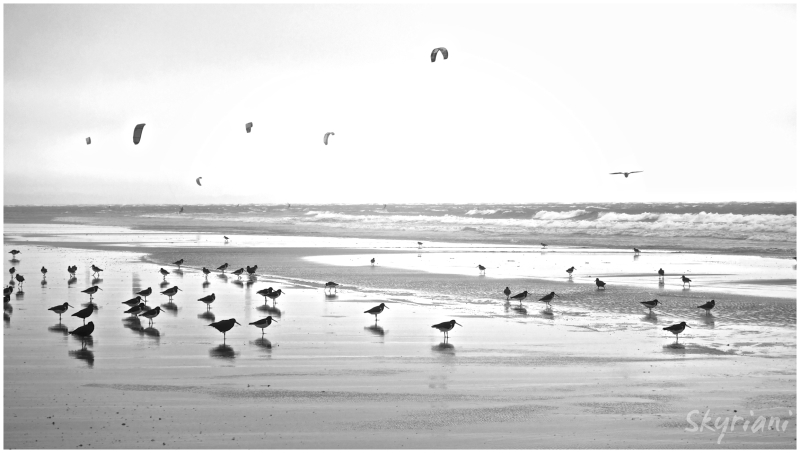 Oystercatchers and Paragliders