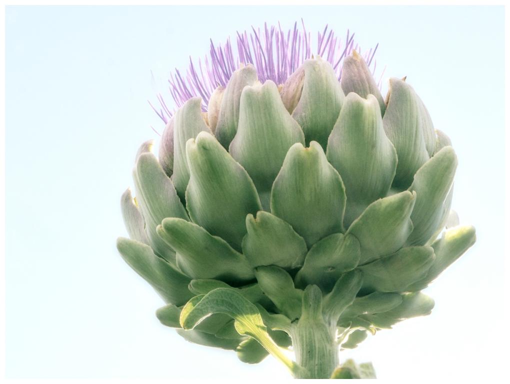 Artichoke flower II