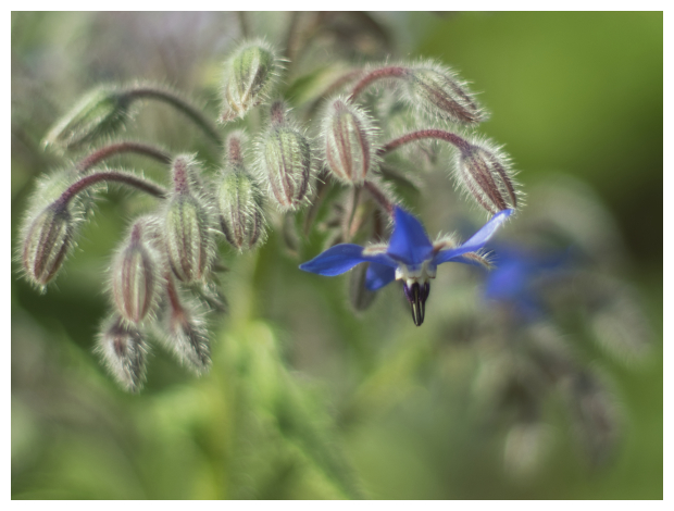 Borage flower