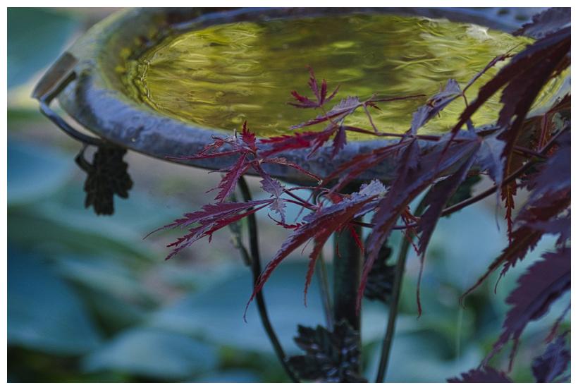 Birdbath, Maple and Hostas
