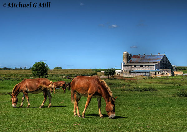 Horses grazing in field in front of an Amish Farm