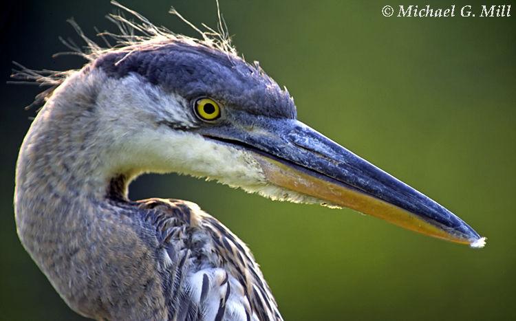 Great Blue Heron Head Shot