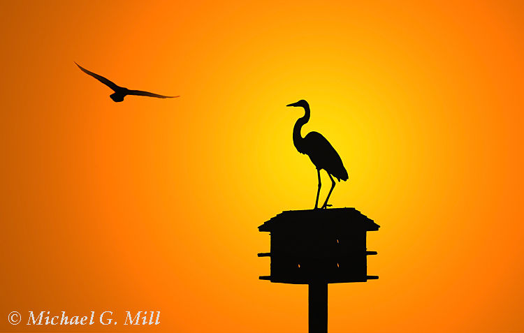 Egret and Gull Silhouette