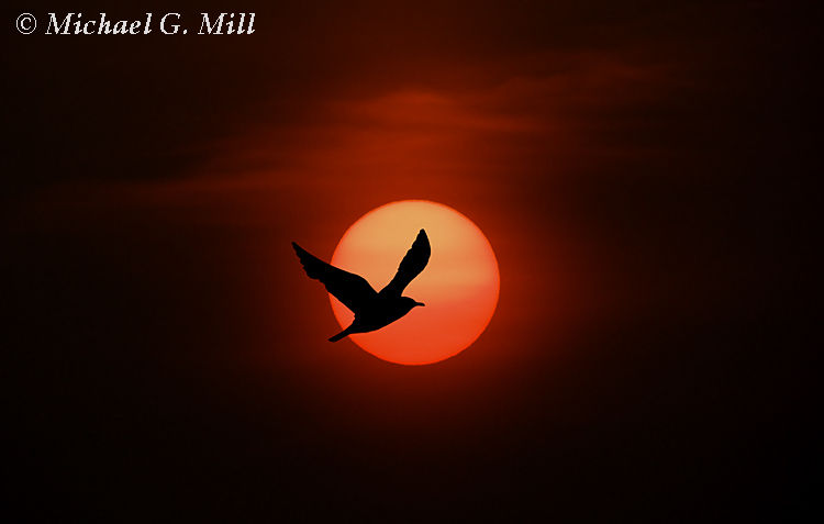 Tern Sunset