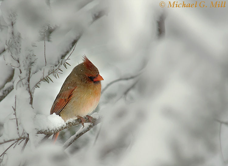 Snowed In Female Cardinal