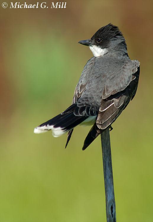 Eastern Kingbird 2
