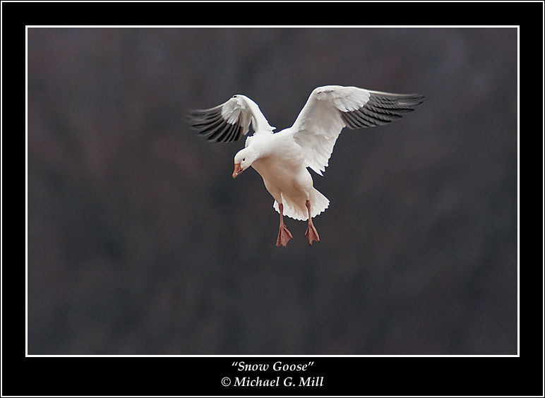 Snow Goose Incoming