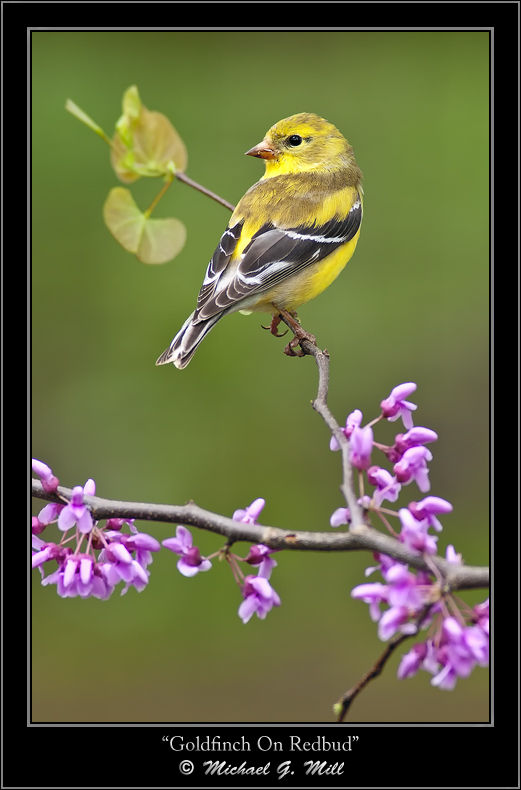 Goldfinch On Redbud