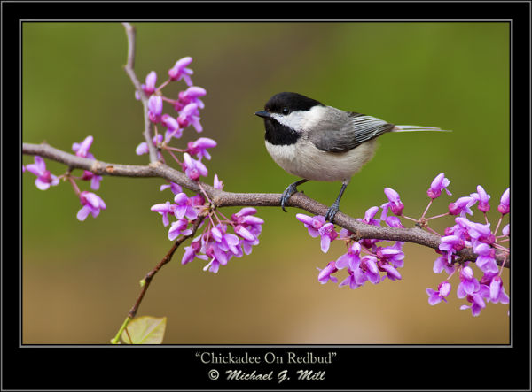 Chickadee On Redbud