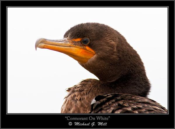 Cormorant on White