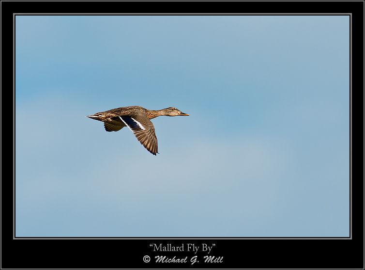 Mallard Fly By