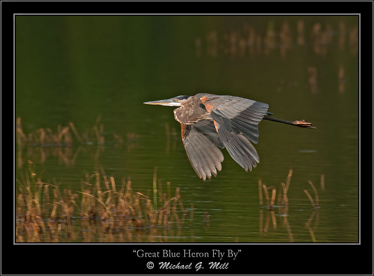 Great Blue Heron Fly By