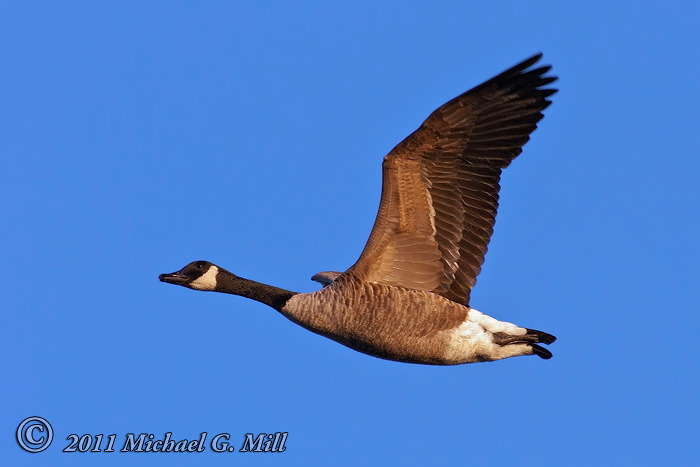 Canada Goose Fly By
