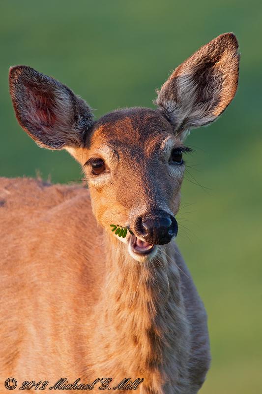 Oh Deer II