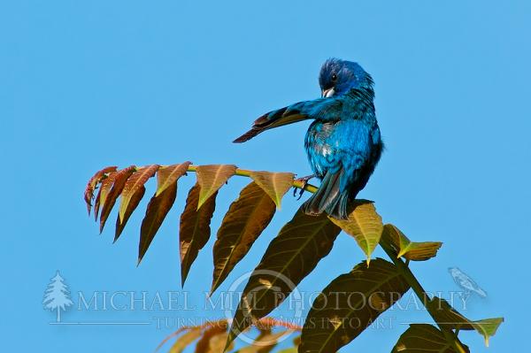 Indigo Bunting Pruning Feathers