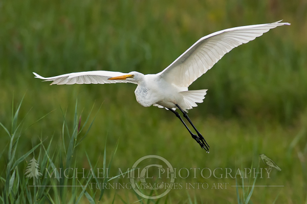 Tower We Have Liftoff (Great Egret)