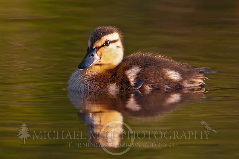 Another Mallard Duckling Portrait