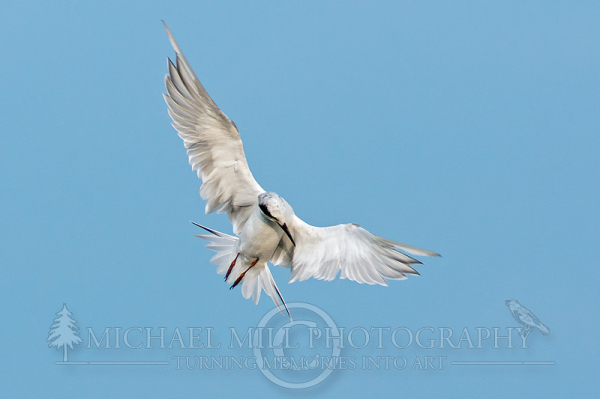 The Hunt (Common Tern)
