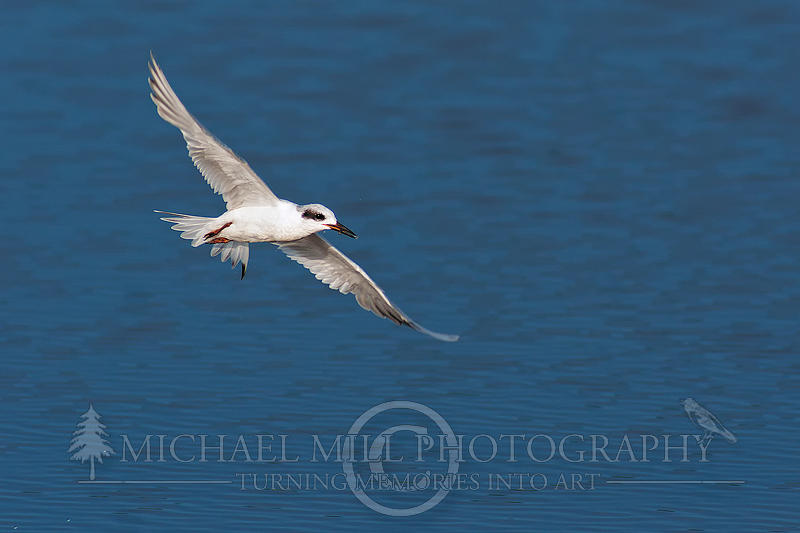 The Catch (Common Tern)