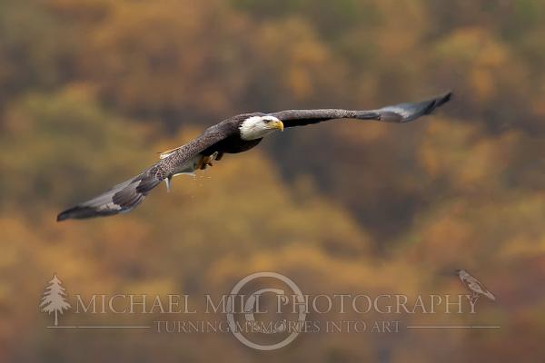 Autumn's Flight - Bald Eagle