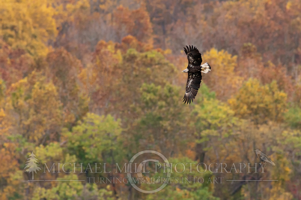 Juvenile Eagle Autumn Flight