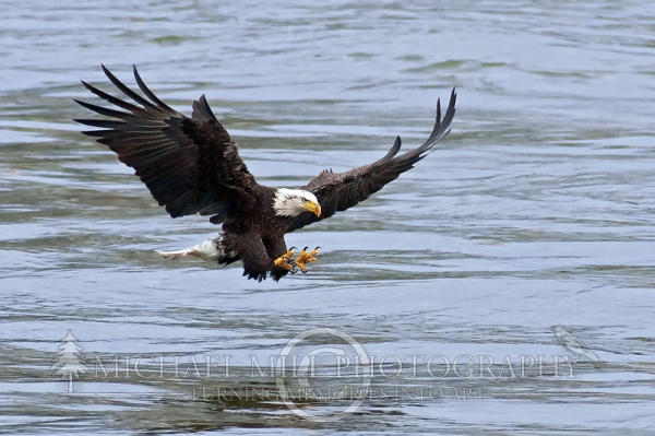 Attack! (Bald Eagle)