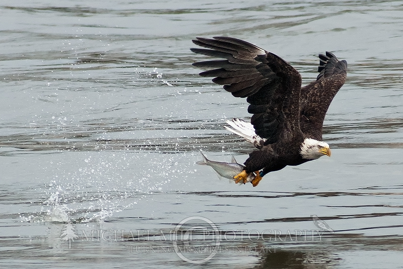 The Catch - Bald Eagle