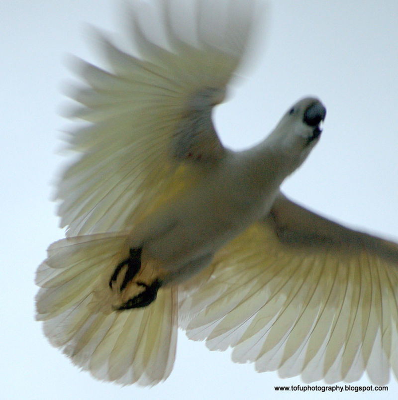 Cockatoo in flight